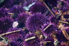 Purple Urchins (Emily Miller fine art) Tags: lighthouse beach oregon purple driftwood newport tidepool seaurchin yaquina