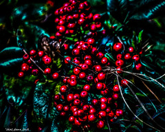 The Berries (that_damn_duck) Tags: nature berries unitedstates southcarolina