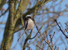 Staartmees (capreolus) Tags: birds oak longtailedtit aegithaloscaudatus staartmees