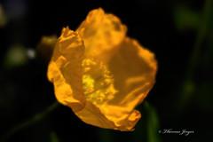 Yellow Poppy 817 Copyrighted (Tjerger) Tags: summer plant black flower macro green nature yellow closeup wisconsin garden petals stem flora soft pistil stamen poppy bloom
