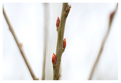 Buds (leo.roos) Tags: lens prime buds fl challenge a7 day57 knoppen focallength primes lenzen dyxum darosa brandpuntsafstand leoroos dayprime konicahexanonar5714 dayprime2016