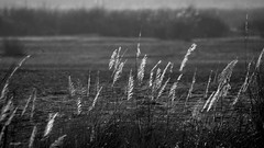 (Kals Pics) Tags: morning india nature grass sunrise river vegetation thanjavur grasslands banks tamilnadu roi cwc ruralindia lightandlife tiruchirapalli indianvillages kollidam rootsofindia ariyalur kalspics thirumazhapadi chennaiweelendclickers tirumanur