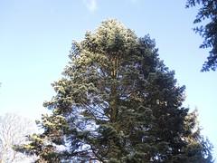Kolorado-Tanne auf dem Tempelhofer Parkfriedhof, Berlin, NGID1098753256 (naturgucker.de) Tags: abiesconcolor naturguckerde koloradotanne cwolfgangkatz 915119198 92636685 174372533 ngid1098753256
