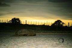 temprano por la maana (sapunaralex) Tags: patagonia sol animal nikon carretera flash amanecer punta ttl arenas armadillo magallanes d3200 descasando