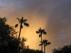 Raining Gold (zoniedude1) Tags: light sunset arizona sky southwest color nature phoenix beauty rain weather skyline clouds skyscape evening colorful view desert sundown silhouettes palmtree mybackyard rainfall backlighting backyardsunset skyshow precipitation azsky stormyskies valleyofthesun glowingsky sooc raininggold zoniedude1 earthnaturelife canonpowershotg12