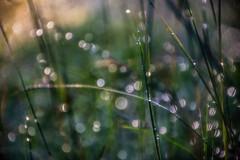 """""""Trust in dreams.... (jenni 101) Tags: grass dewdrops bokeh dreams doplets hbw bokehwednesday trustindreams"""