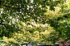 Autumn [Kodak Folding Brownie] (Aviator195) Tags: film filmphotography filmisnotdead kodak kodakbrownie kodak620 kodakfilm kodakfoldingbrownie foldingbrownie foldingcamera 620 620film 620foldingbrownie brownie color colour colourful colorful interesting old oldschool olden march sydney australia autumn season seasons southernhemisphere leaf leaves fall foliage tree trees nature light greenery green warm cold porta400 porta kodakporta