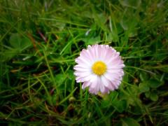 Gnseblmchen (magicmarcyde) Tags: wiese blume grad farbe blmchen gnseblmchen gnseblume ausergewhnlich