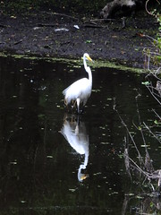 Great White of the Pond (failing_angel) Tags: florida wetland esterobay fortmyers fortmyer sixmilecypressslough sixmileslough 240515 sixmilecypresssloughpreserve linearecosystem naturaldrainageway