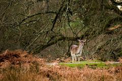 Fallow Deer (pdjenkins54) Tags: new forest hampshire deer fallow bolderwood