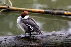 Smew (Duck) (CAscotPhotography) Tags: bird nature birds animal duck nikon wwt wildfowl d7100 wwtlondon cascotphotography