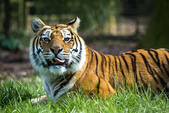 qu'est ce tu regardes ? (Nicolas Bondue) Tags: wild france animal canon zoo panda tiger pelican l 70200 tigre roux suricate thoiry sauvage animalier canon60d