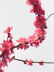 Whip! ( Red plum blossoms) (nofrills) Tags: floral spring flora blossoms plum plums plumblossom