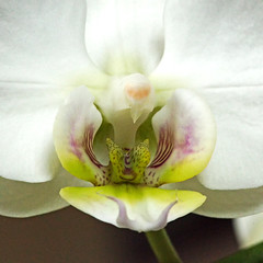 _MGL3302 Phalaenopsis - Orkide- Orchid (Thanks for visit Soes' photo from the lovely natur) Tags: orchid flower macro makro blomst danmark orkide myorchids solveigsterschrder phalaenopsisorkideorchid