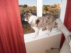 Cody balancing act (northern_nights) Tags: window lol balance bordercollie