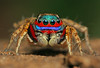 Mr.Color (karthik Nature photography) Tags: color macro nature animals closeup forest garden photography spider spiders wildlife jumpingspider macrophotography salticidae macroworld animalworld spiderworld insectphotography canonmpe65 macrolife malejumpingspider stenaelurillus colorfuljumpingspider beautifuljumpingspider jumpingspidersinindia