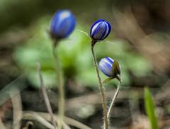 Hepatica nobilis Schreb (aksielza) Tags: image astounding nobilis hepatica kvtina jarn schreb podlka