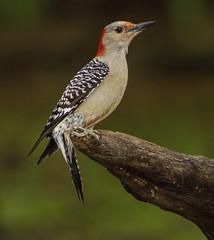 Red-bellied Woodpecker, female (AllHarts) Tags: ngc npc memphistn flickerites backyardbirds naturesspirit femaleredbelliedwoodpecker naturescarousel pickyourart thesunshinegroup