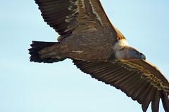IMG_2088a (berserker170) Tags: buitre vulture monfragüe 7d 150500 eos extremadura montaña mountain ave prey presa volando flying animal bird flickrexploreme