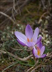 Derniers crocus (I) (Charlottess) Tags: fleur crocus printemps flore bouchesdurhne saintevictoire provencealpesctedazur nikon5300