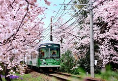 (Clonedbird  & Iris ) Tags: japan nikon kyoto   sakura   2016 randen   d810