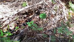 Red-bellied black snake (crslandia) Tags: wild snake wildlife sydney australia nsw laperouse redbelliedblacksnake kamay kamaybotanybaynationalpark