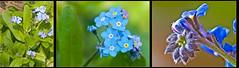 Myosotis scorpioides  Sumpf- Vergissmeinnicht (Karl Hauser) Tags: flowers flower germany deutschland flora pflanzen wildflowers myosotis badenwürttemberg myosotisscorpioides dofstacking kniebiskarle