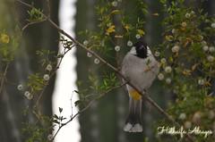 #dubai #uae #dubai_creek_park #dubai_creek #dubaicreekpark #bird #birds #photography #songbird #nightingale   # #__#_ #_ # # # # # # # # (alrayes1977) Tags: bird birds photography dubai uae dubaicreek songbird nightingale           dubaicreekpark