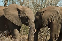 african elephant (Loxodonta africana) (delimaaaaaaaaa) Tags: africa trip elephant southafrica safari viagem krugerpark elefante reserva gamereserve frica safri fricadosul