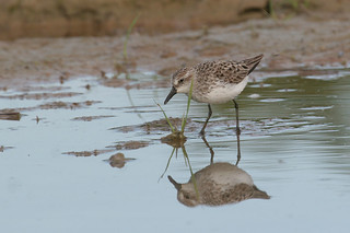 Semipalmated Sandpiper - Calidris pusilla - Hamilton County, Ohio, USA - May 23, 2005