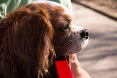 Chelsea profile (heathergough) Tags: dog chelsea highpark spaniel cavalierkingcharlesspaniel