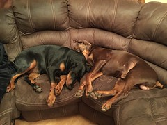 Red, Male Dobermann Pinscher Zeus with Black and Tan, Female Dobermann Pinscher Gabbana Sleeping Together (firehouse.ie) Tags: red dog brown black male dogs animals female hell tan hound german devil doberman dobie pinscher k9 dobe dobermann dobies dobermans dobes pinschers dobermanns