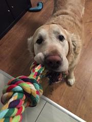 (psiortal.pl) Tags: dog love dogs goldenretriever fun toy pies psy zabawa miłość zabawka sznurek psiortal
