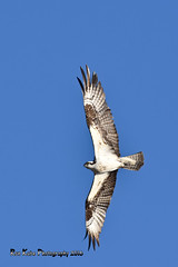 Osprey DSC_5449 (Ron Kube Photography) Tags: canada bird nature birds fauna nikon raptor alberta ornithology osprey birdofprey pandionhaliaetus southernalberta globalbirdtrekkers ronaldok d7200 nikond7200 ronkubephotography