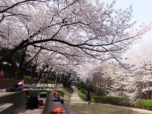 안산공원벚꽃06