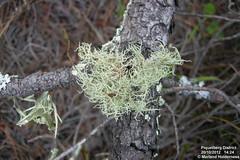 Much-branched Usnea, Piquetberg District - 2012 (marlandza) Tags: usnea corticolous lichenza fruticosethallus