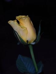 DSC_0766 Rose (PeaTJay) Tags: flowers roses plants macro nature rose gardens fauna reading flora indoors micro closeups berkshire rosebuds lowerearley nikond750