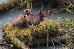 Grizzly Cubs (fascinationwildlife) Tags: bear autumn wild brown canada fall nature animal river mammal cub log bc wildlife natur salmon run columbia inlet british grizzly br orford kanada bute specanimal