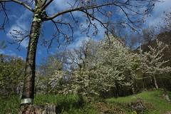 avril (bulbocode909) Tags: nature suisse vert bleu ciel arbres nuages printemps valais fruitiers