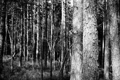 Germany - Viechtach - Groer Pfahl (st3000) Tags: blackandwhite bw tree nature forest germany bayern bavaria europe fuji outdoor 1855mm niederbayern bayerischerwald ois pfahl viechtach xpro1 groserpfahl onlyinbavaria