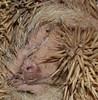Hedgehog (Phetchaburi Province, Thailand) (happy expat thailand) Tags: thailand hedgehog erinaceinae spinymammal familysoricidae