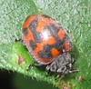 IMG_12880 Ladybird (John Steedman) Tags: africa insect kenya beetle ladybird afrika kenia afrique eastafrica ostafrika 非洲 アフリカ ケニア африка afriquedelest أفريقيا кения 肯尼亚 東アフリカ شرقأفريقيا 东部非洲0