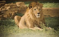 The King (a.el) Tags: wild animals zoo big king power lion beast strong brave riyadh saudiarabia ksa 500px