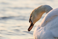 (jonathan_ed1984) Tags: lake bird water birds swan waterfoul wildlife feathers lancashire swans leigh penningtonflash pennington muteswan muteswans brittish brittishwildlife
