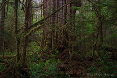 Killer of Giants - Vancouver Island, Canada (Thomas J Dawson) Tags: oldgrowthforest ancientforest amazingtrees walbranvalley thomasdawsonphotography