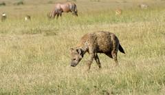 Spotted Hyena (howzey) Tags: africa kenya hyena maasaimara
