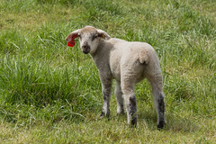 Looking back (bertrandwaridel) Tags: field grass switzerland spring sheep suisse april lamb lambs sheeps vaud 2016 echallens