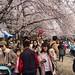 Cherry Blossom at Gyeonghwa Station, Jinhae