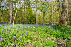 Last of the Bluebell's (Aaron Miller Photo) Tags: wood flowers blue trees wild flower tree bluebells spring woods britain ground british bluebell wildlfower