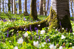 Spring Dance (kramelliott) Tags: life new flowers trees colour detail nature beauty bluebells daisies forest landscape photography spring afternoon natural wind mark glory portglenone can hidden creation northernireland ni awe elliott discover eos700d
